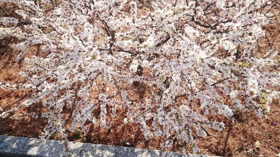 花梅の画像