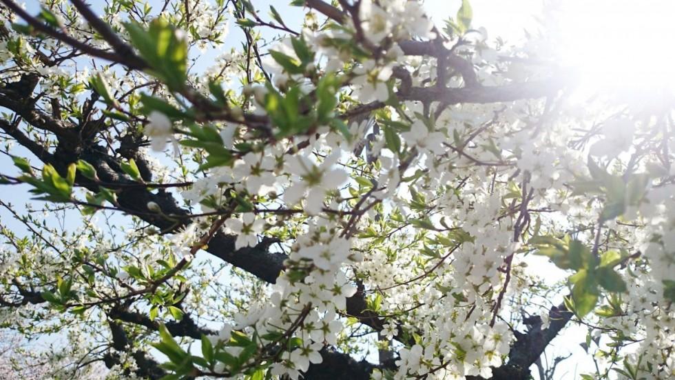 桜っぽい花
