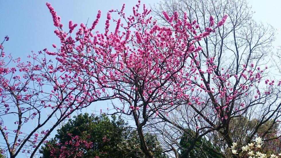 花梅の写真